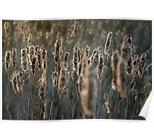 Cattail sunset Poster
