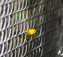 Prothonotary Warbler in the fence by TJ Baccari Photography