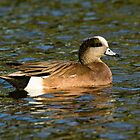 American Wigeon Drake by AriasPhotos