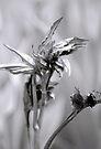 peony leaves unfurling by Laurie Minor