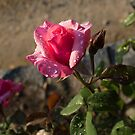 Spring Glow In Pink - a Sweetheart Rosebud With Dewdrops by Georgia Mizuleva