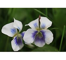 Twin Violets Photographic Print