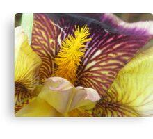 Colorful Iris  Canvas Print