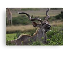 Kudu Grazing in South Africa Canvas Print