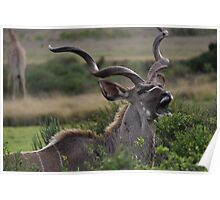 Kudu Grazing in South Africa Poster