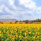 Sunflower Panorama - Free State, South Africa by Qnita