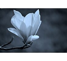 Magnolia #2 Photographic Print