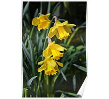 3 Daffodils on top of eachohter. Poster