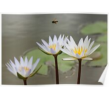 Bee Flying Over Water Lilies  Poster