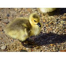 Cute Gosling Photographic Print