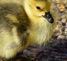 Cute Gosling Sticker