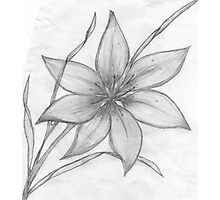 Lily,Pencil Drawing,  Photographic Print