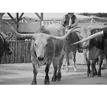Cattle Drive 5 Photographic Print