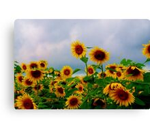 clemson sunflowers part 2 Canvas Print