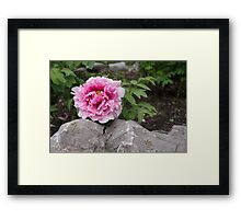 Peony on the Rocks - the Marvels of Spring Framed Print