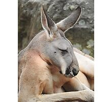Red Kangaroo Photographic Print