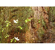 Dogwood Blossom Sequoia National Park Photographic Print