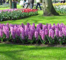 Sweep of Hyacinths - Keukenhof Gardens, Holland Sticker