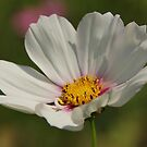 WHITE COSMOS by ANNABEL   S. ALENTON