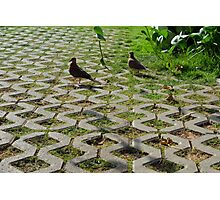 Pigeons on the pavement and grass in the park. Photographic Print