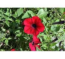 Red flowers and green leaves, natural background. Photographic Print