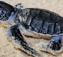 Baby Green Turtle on his way to Survival Sticker