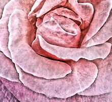 Cracked Pink Rose by OneDayOneImage Photography