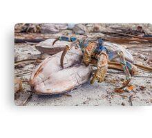 Snack Time for the Coconut Crab Canvas Print