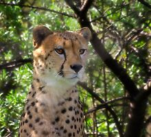 Cheetah Portrait by Kathy Weaver