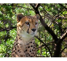 Cheetah Portrait Photographic Print