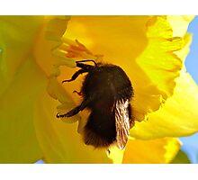 Bee On Daffodil Photographic Print