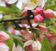 Crabapple Buds and Blooms Sticker