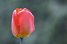 Tulip by Laurie Minor
