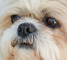 Little Lion - My Shih Tzu Friend by Robert Kelch, M.D.