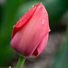 Raindrops on a Red Tulip by Robert Kelch, M.D.