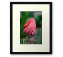 Raindrops on a Red Tulip Framed Print
