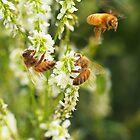 Honey Alfalfa by Creative Minds