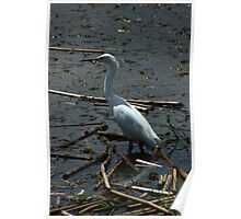 Great Heron in a Lake Poster