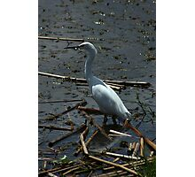 Great Heron in a Lake Photographic Print