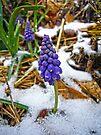 Grape Hyacinth in the Snow by FrankieCat