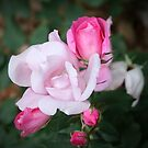 Roses In Different Stages by Cynthia48