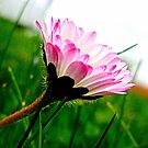 Pink Daisy ~ Bellis perennis by ©The Creative  Minds