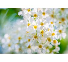Bird Cherry Flowers Photographic Print