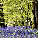 Arlington Bluebell Woods by mikebov