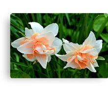 Salmon Pink Daffodils... Lyme .Dorset UK Canvas Print