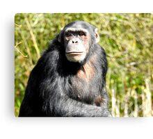 Teenage Chimpanzee Canvas Print