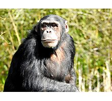 Teenage Chimpanzee Photographic Print