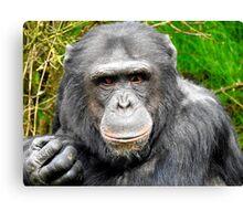Elder Chimpanzee Canvas Print
