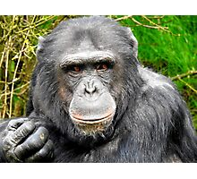 Elder Chimpanzee Photographic Print