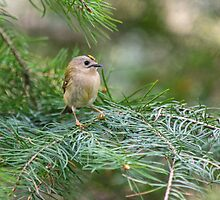 Goldcrest by M.S. Photography/Art